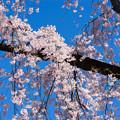 Photos: 小石川後楽園【馬場桜】3