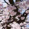 小石川後楽園【馬場桜】4