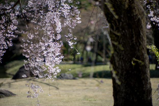 小石川後楽園【馬場桜】5