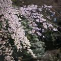 小石川後楽園【馬場桜】6