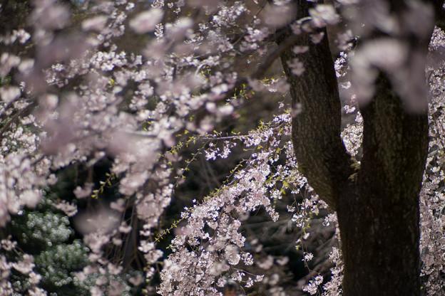 小石川後楽園【馬場桜】7