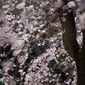 Photos: 小石川後楽園【馬場桜】7