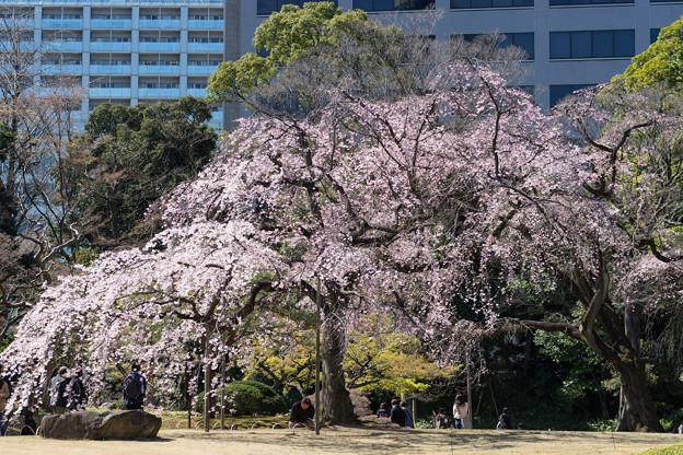 小石川後楽園【小廬山横の枝垂れ桜】