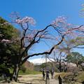 小石川後楽園【大堰川横の枝垂れ桜】1