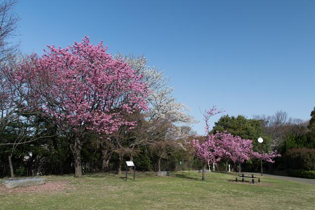 本牧山頂公園【サクラ:横浜緋桜】1