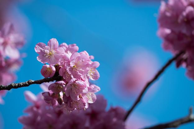 本牧山頂公園【サクラ:横浜緋桜】5