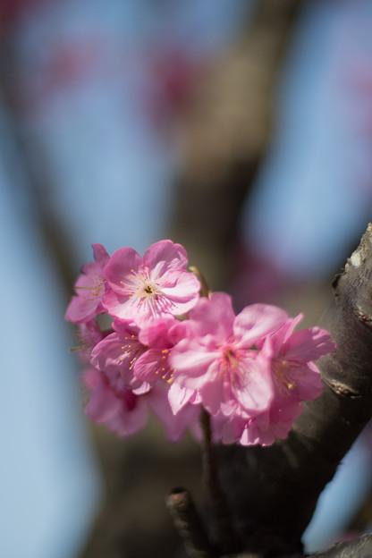 本牧山頂公園【サクラ:横浜緋桜】7