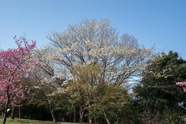 本牧山頂公園【サクラ:大島桜】1
