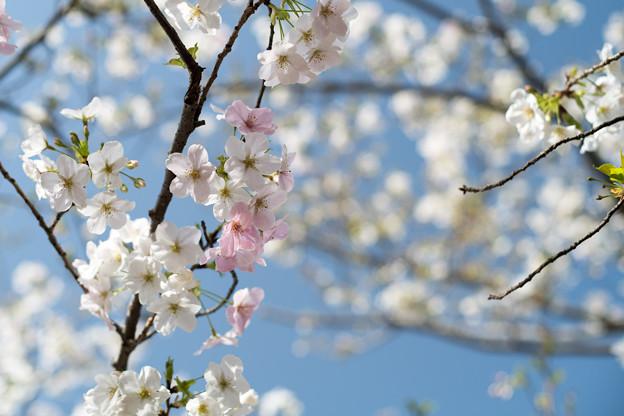 本牧山頂公園【サクラ:大島桜】3
