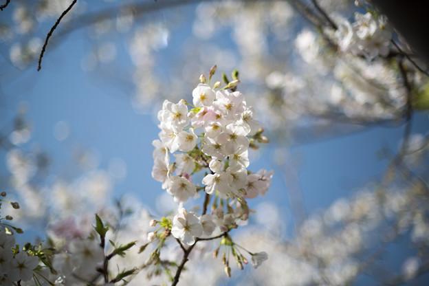本牧山頂公園【サクラ:大島桜】4