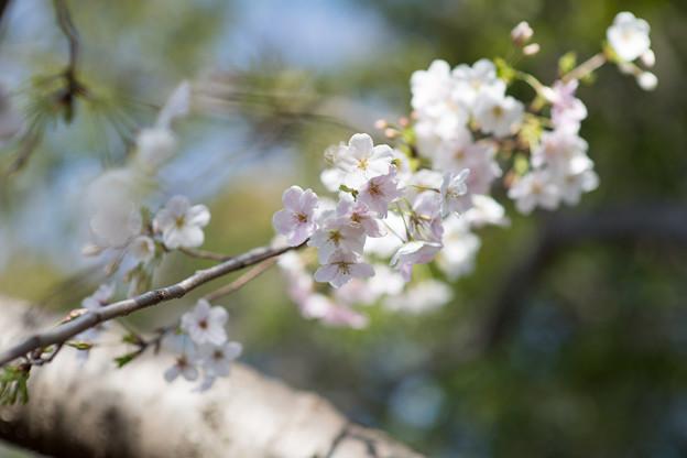 本牧山頂公園【サクラ:大島桜】5