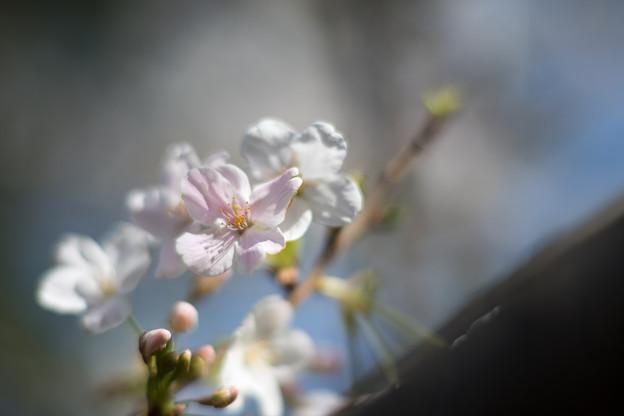 本牧山頂公園【サクラ:大島桜】6