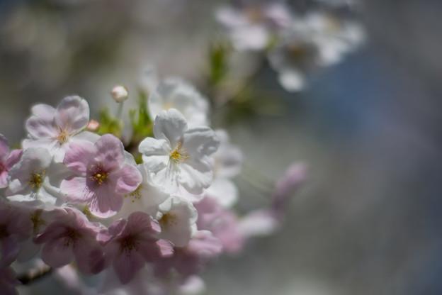 本牧山頂公園【サクラ:大島桜】7