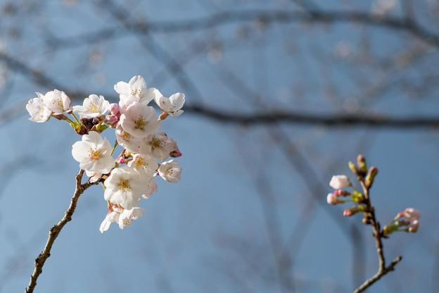 本牧山頂公園【サクラ:染井吉野】1