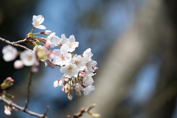 本牧山頂公園【サクラ:染井吉野】2