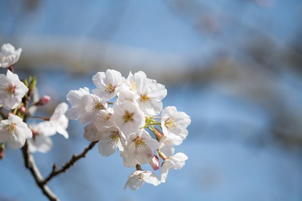 本牧山頂公園【サクラ:染井吉野】4