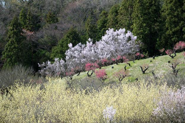 保木【花桃の丘】4