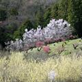 Photos: 保木【花桃の丘】4