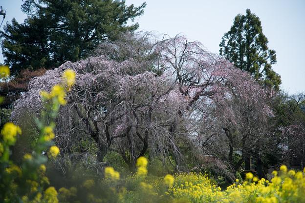 三輪の里【菜の花と枝垂れ桜】