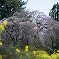Photos: 三輪の里【菜の花と枝垂れ桜】