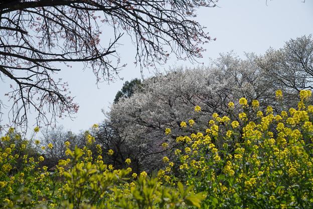 三輪の里【菜の花と白桜】