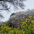 Photos: 三輪の里【菜の花と白桜】