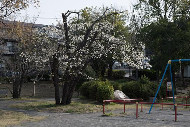 テリタビーズ公園【サクラ:大島桜】1