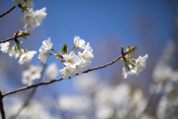 テリタビーズ公園【サクラ:大島桜】5