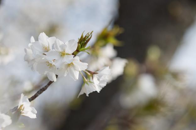 テリタビーズ公園【サクラ:大島桜】6