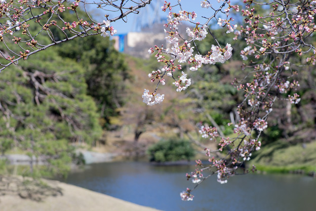 小石川後楽園【染井吉野】1