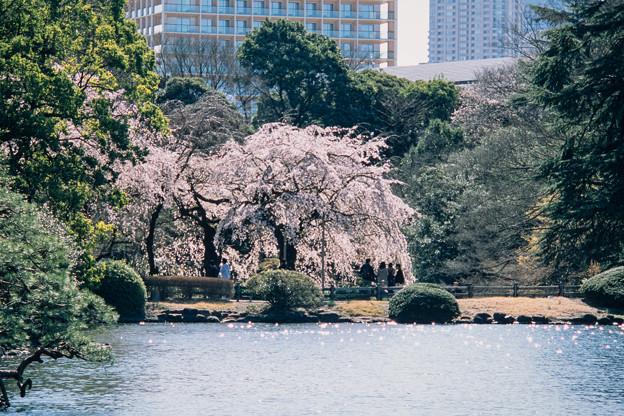 新宿御苑【サクラ:枝垂れ桜】1銀塩