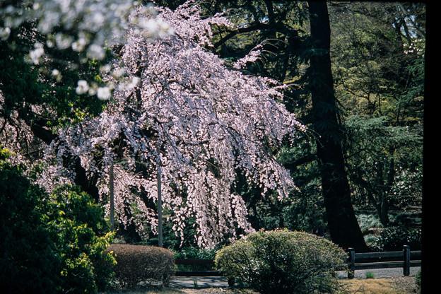 新宿御苑【サクラ:枝垂れ桜】2銀塩