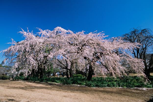 新宿御苑【サクラ:枝垂れ桜】3銀塩