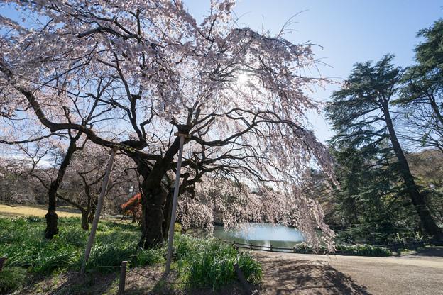 新宿御苑【サクラ:枝垂れ桜】4