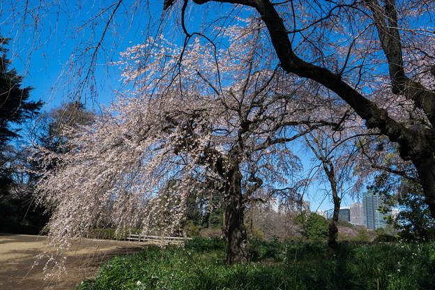 新宿御苑【サクラ:枝垂れ桜】5