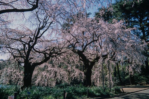 新宿御苑【サクラ:枝垂れ桜】6銀塩