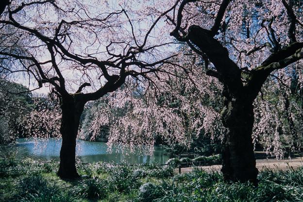新宿御苑【サクラ:枝垂れ桜】7銀塩