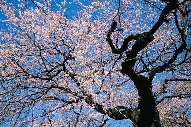 新宿御苑【サクラ:枝垂れ桜】9銀塩