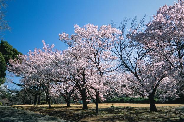 新宿御苑【サクラ:高遠小彼岸】1銀塩