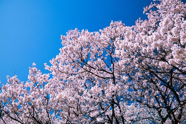 新宿御苑【サクラ:高遠小彼岸】3銀塩
