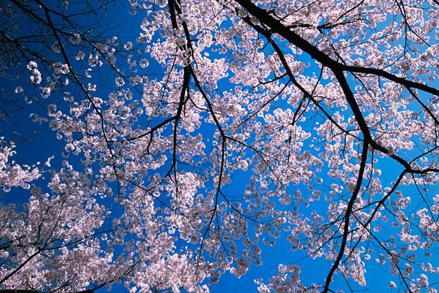 新宿御苑【サクラ:高遠小彼岸】6銀塩