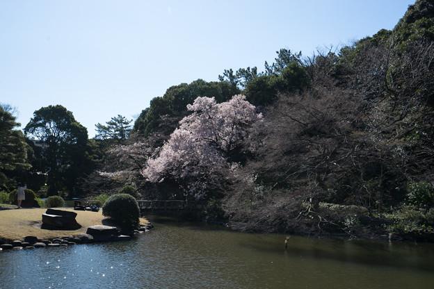 新宿御苑【玉藻池:高遠小彼岸】2