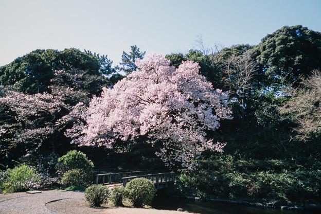 新宿御苑【玉藻池:高遠小彼岸】3銀塩