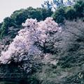 新宿御苑【玉藻池:高遠小彼岸】4銀塩