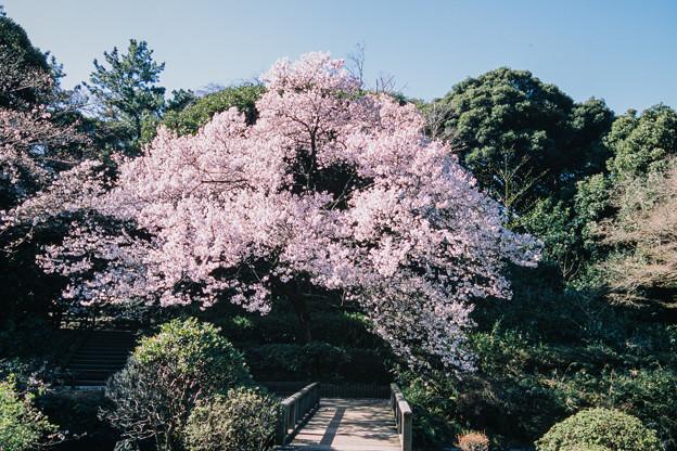 新宿御苑【玉藻池:高遠小彼岸】5銀塩