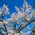 新宿御苑【サクラ:大島桜】2銀塩