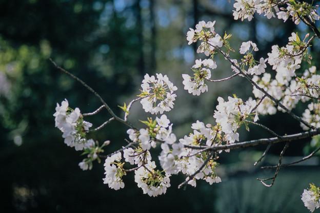 新宿御苑【サクラ:大島桜】3銀塩