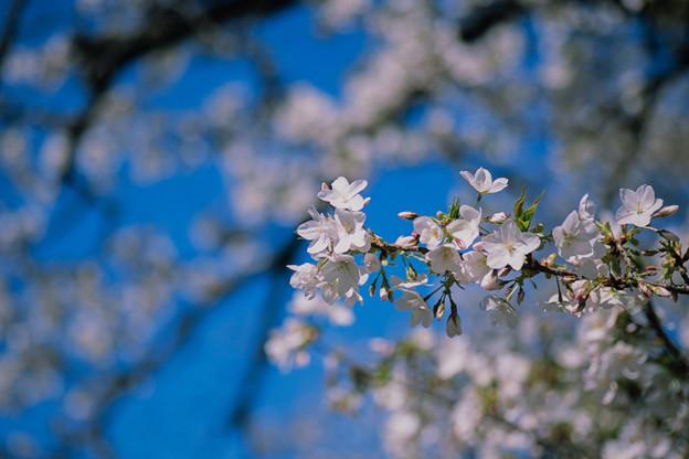 新宿御苑【サクラ:大島桜】4銀塩