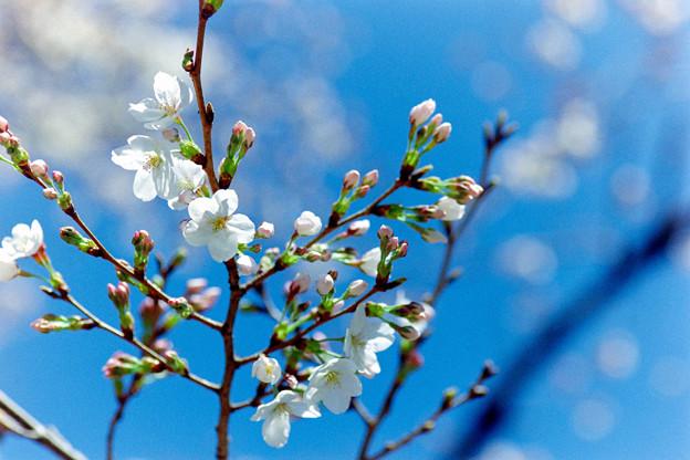 新宿御苑【サクラ:大島桜】6銀塩