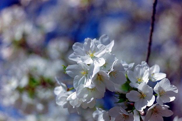 新宿御苑【サクラ:大島桜】7銀塩